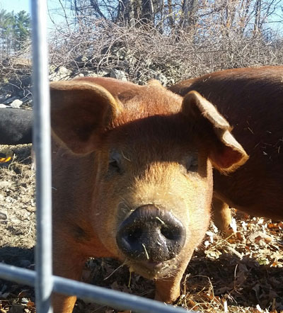 Duroc pigs at Hubbard's Farm